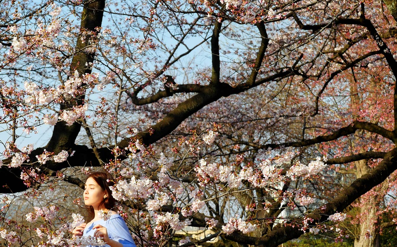 Shinjuku-Gyoen, Tokyo, cherry blossom, sakura, cerisiers en fleurs