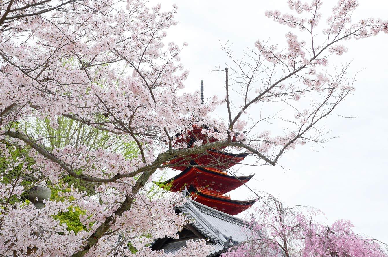 Cherry blossom in Itsuku-shima, Miya-jima