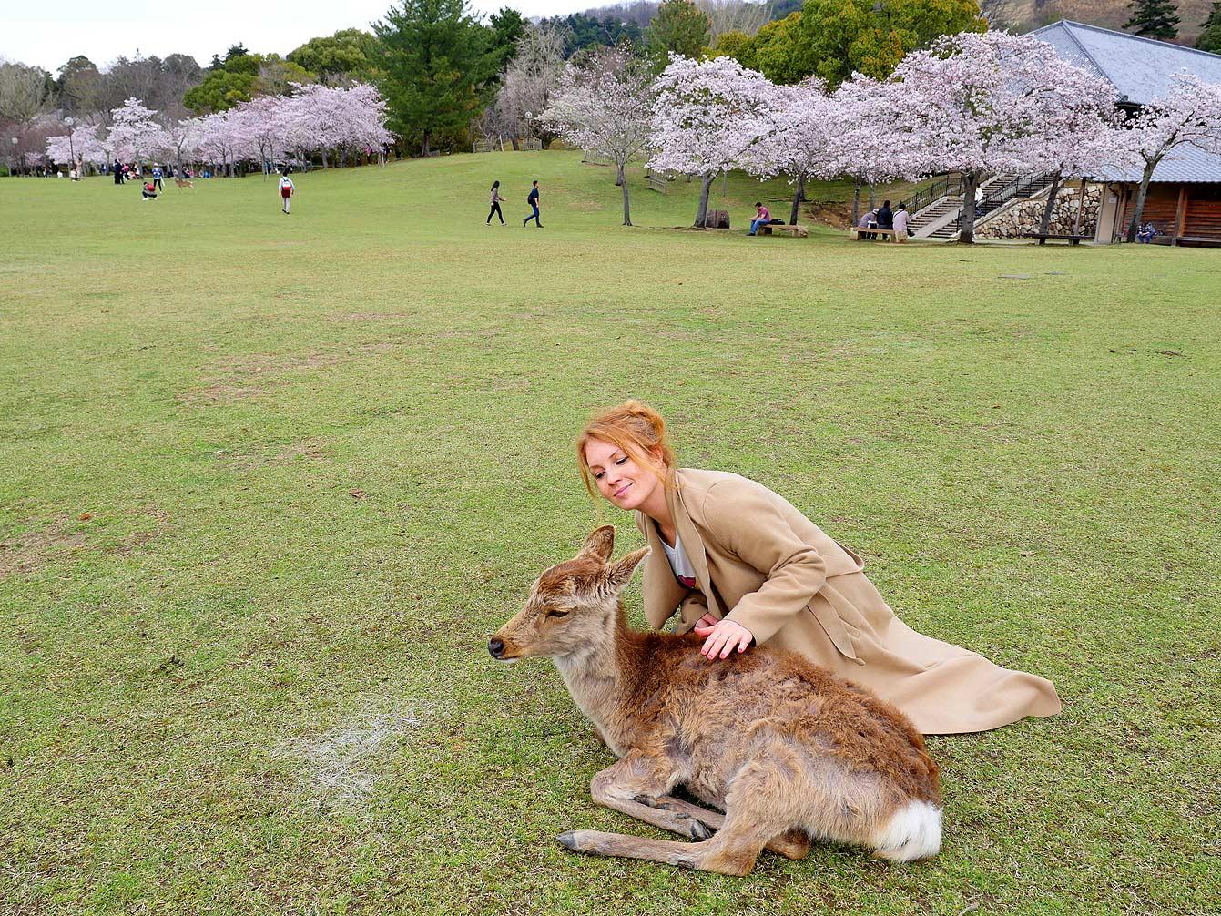 Nara, sakura japon