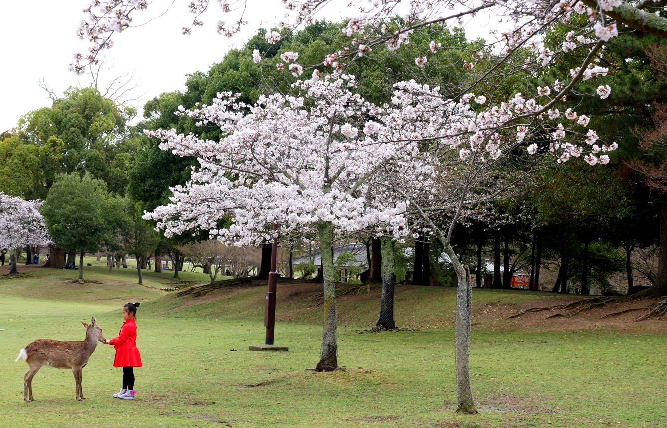 nara-sakura-japon-10