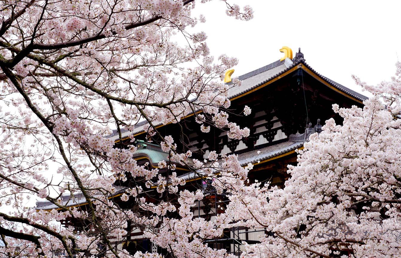 Temple à Nara, cerisiers en fleurs
