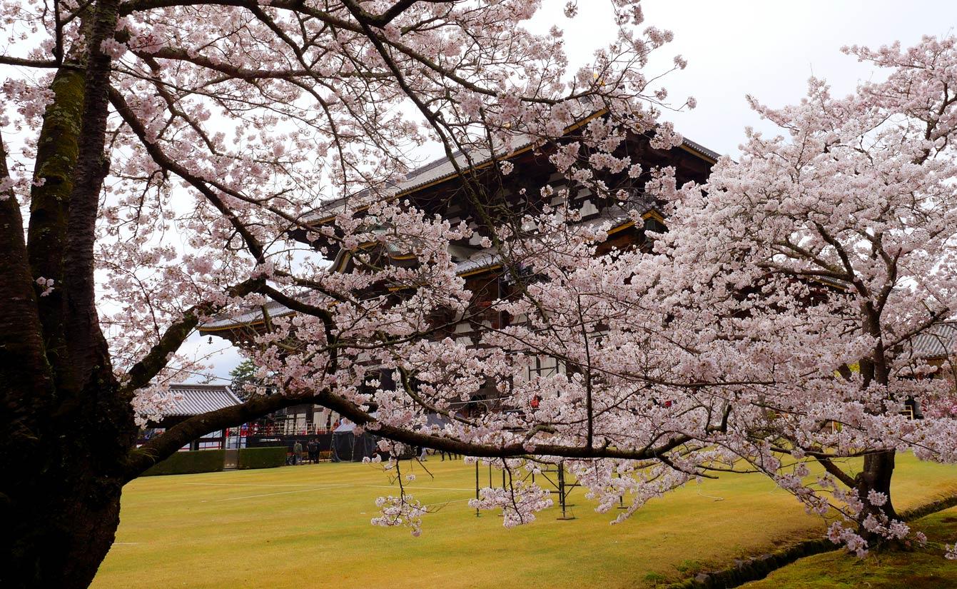 nara-sakura-japon-13