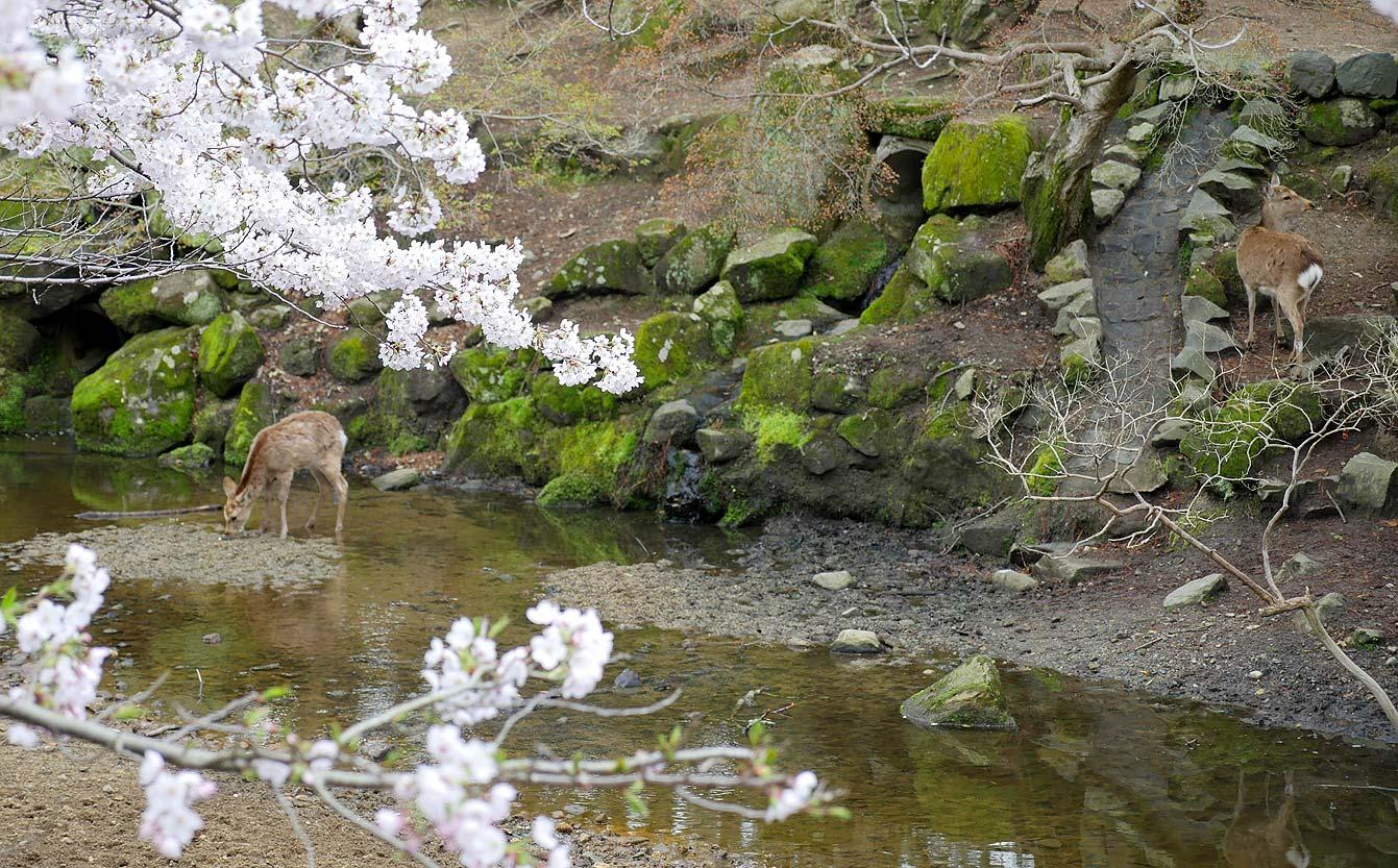 Nara, cerf, Japon