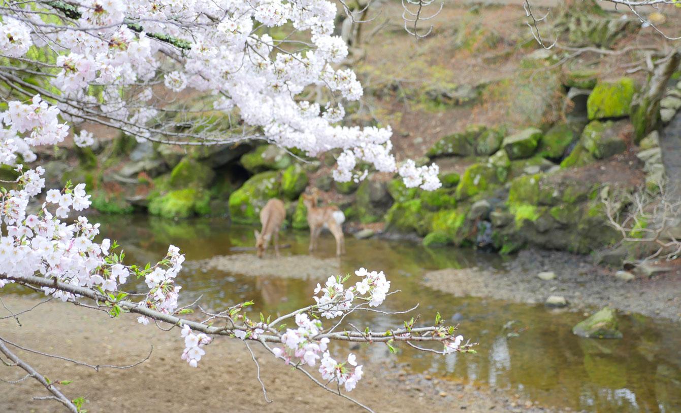 nara-sakura-japon-15