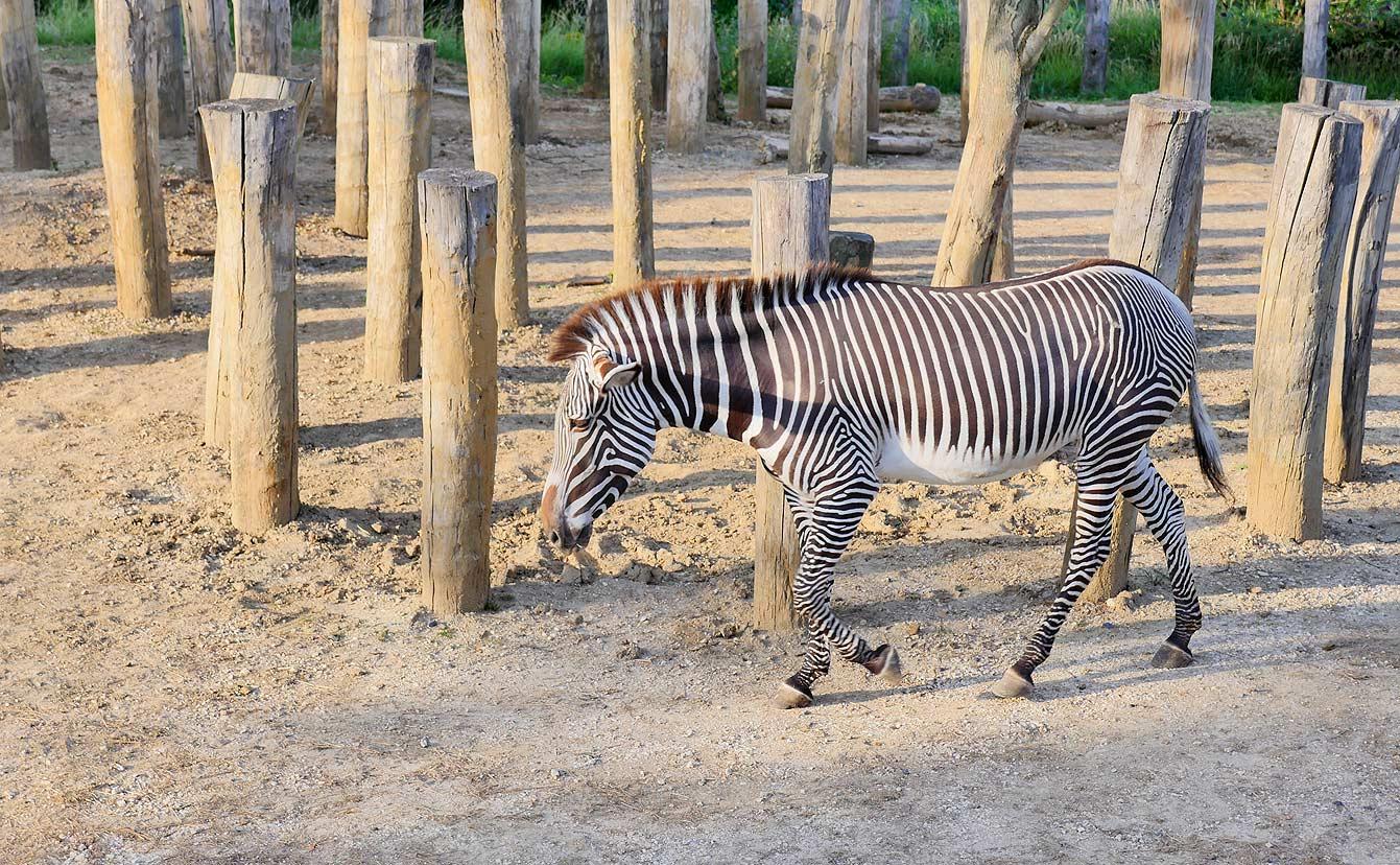 03-parc-zoologique-zebre