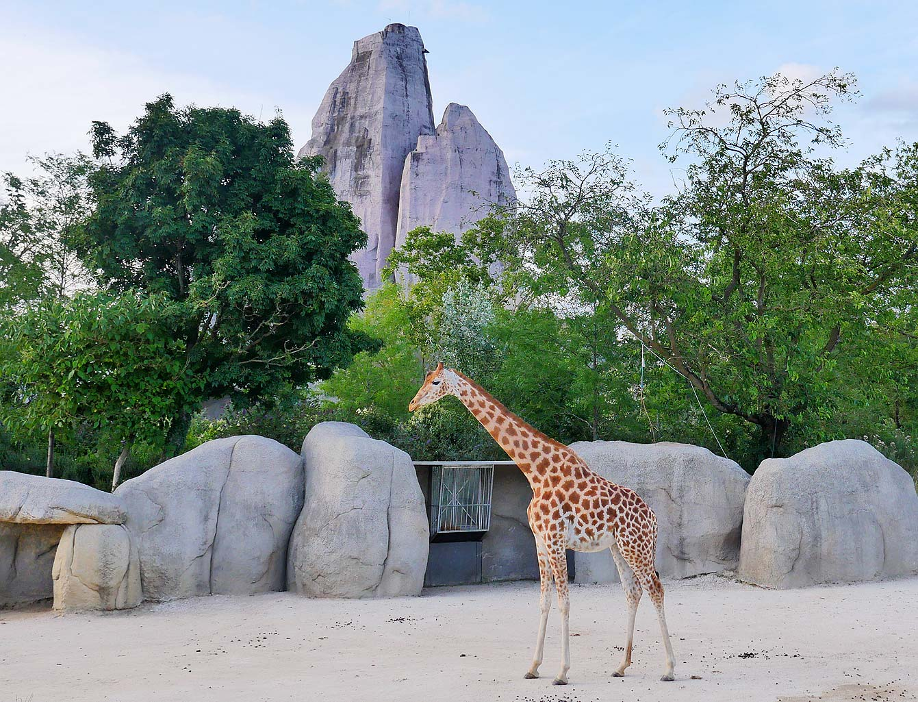 05-parc-zoologique-paris-girafe