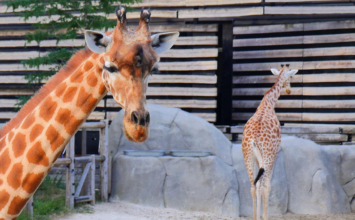 07-parc-zoologique-paris-girafe