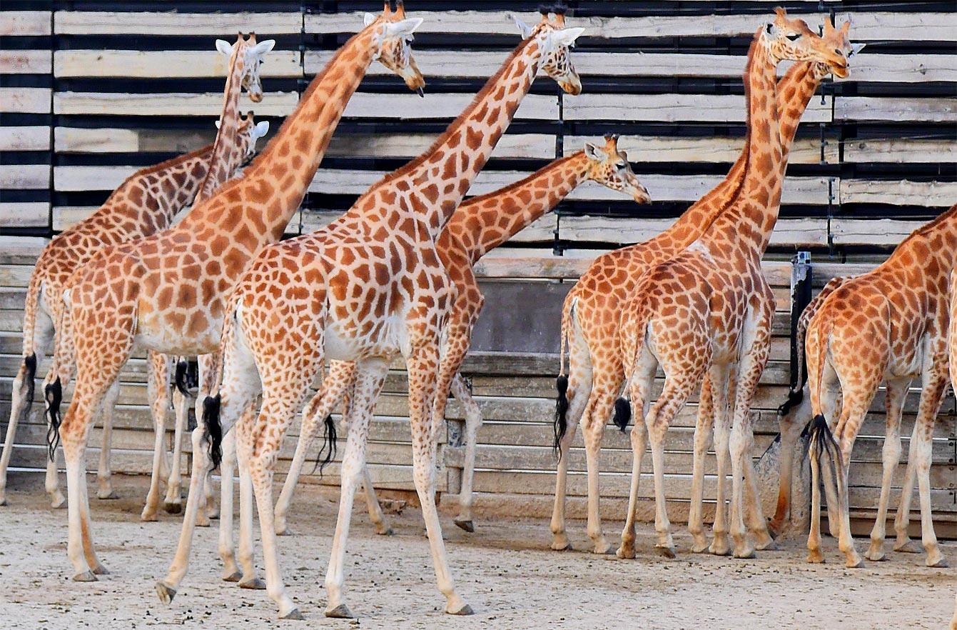 08-parc-zoologique-paris-girafe