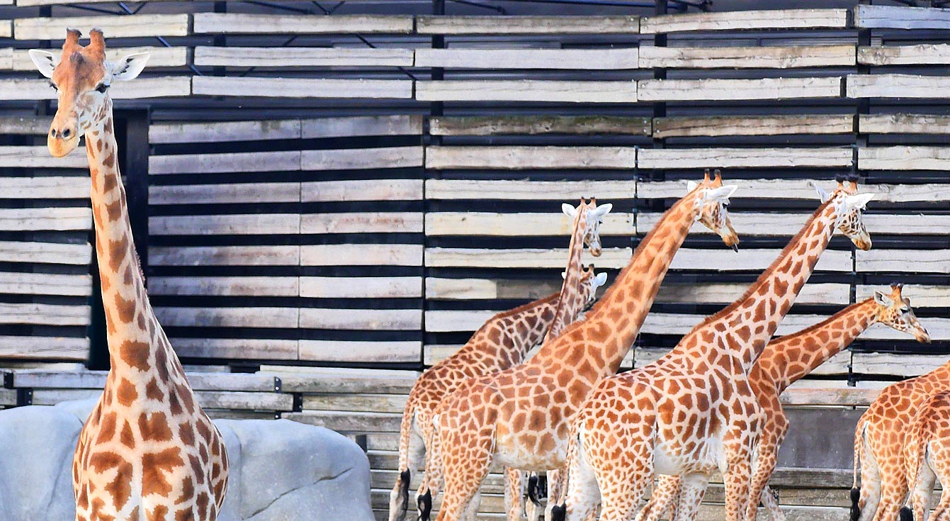 09-parc-zoologique-paris-girafe