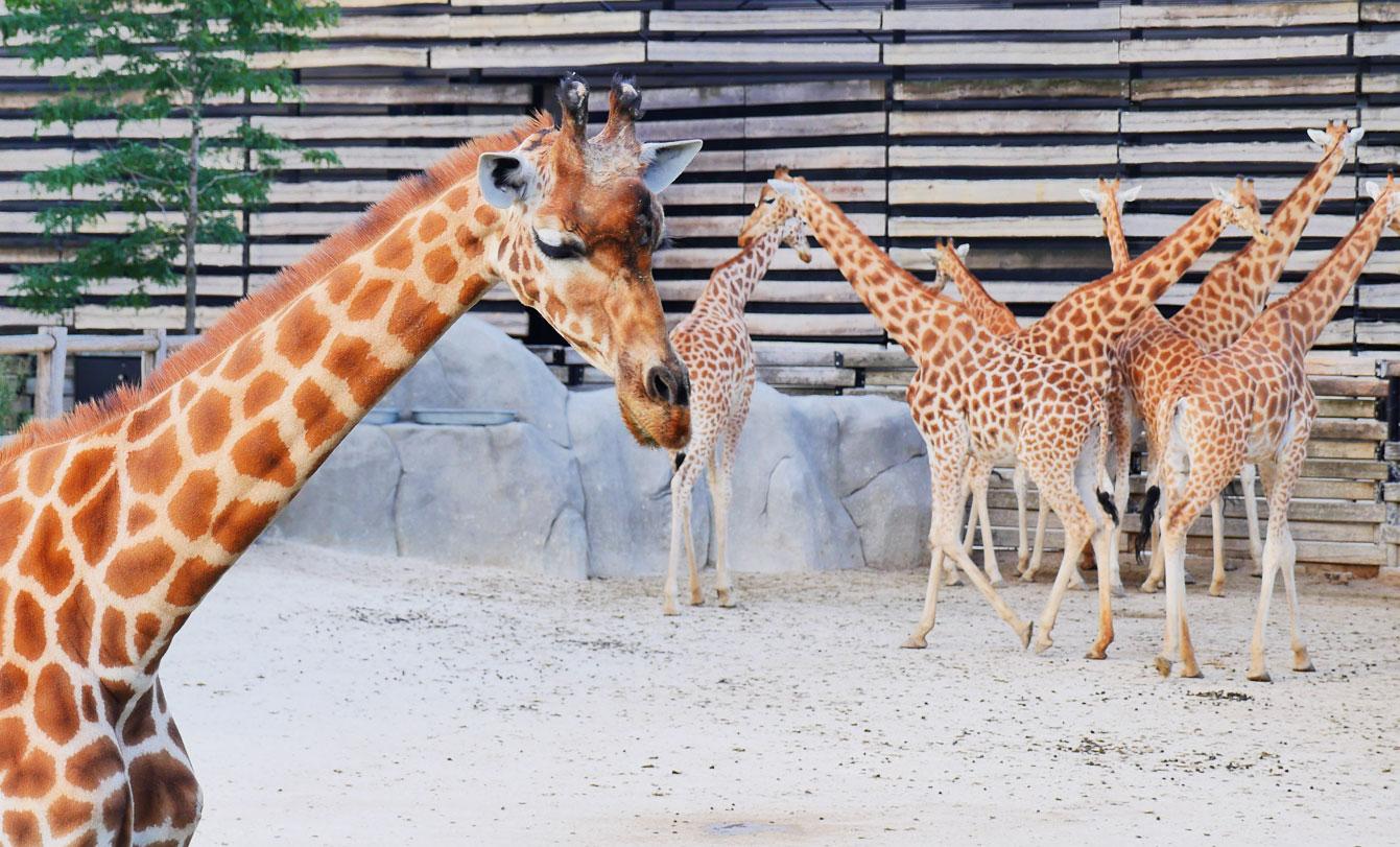 12--parc-zoologique-paris-girafe