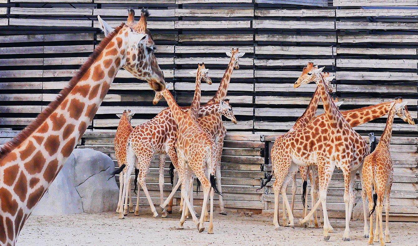 13--parc-zoologique-paris-girafe
