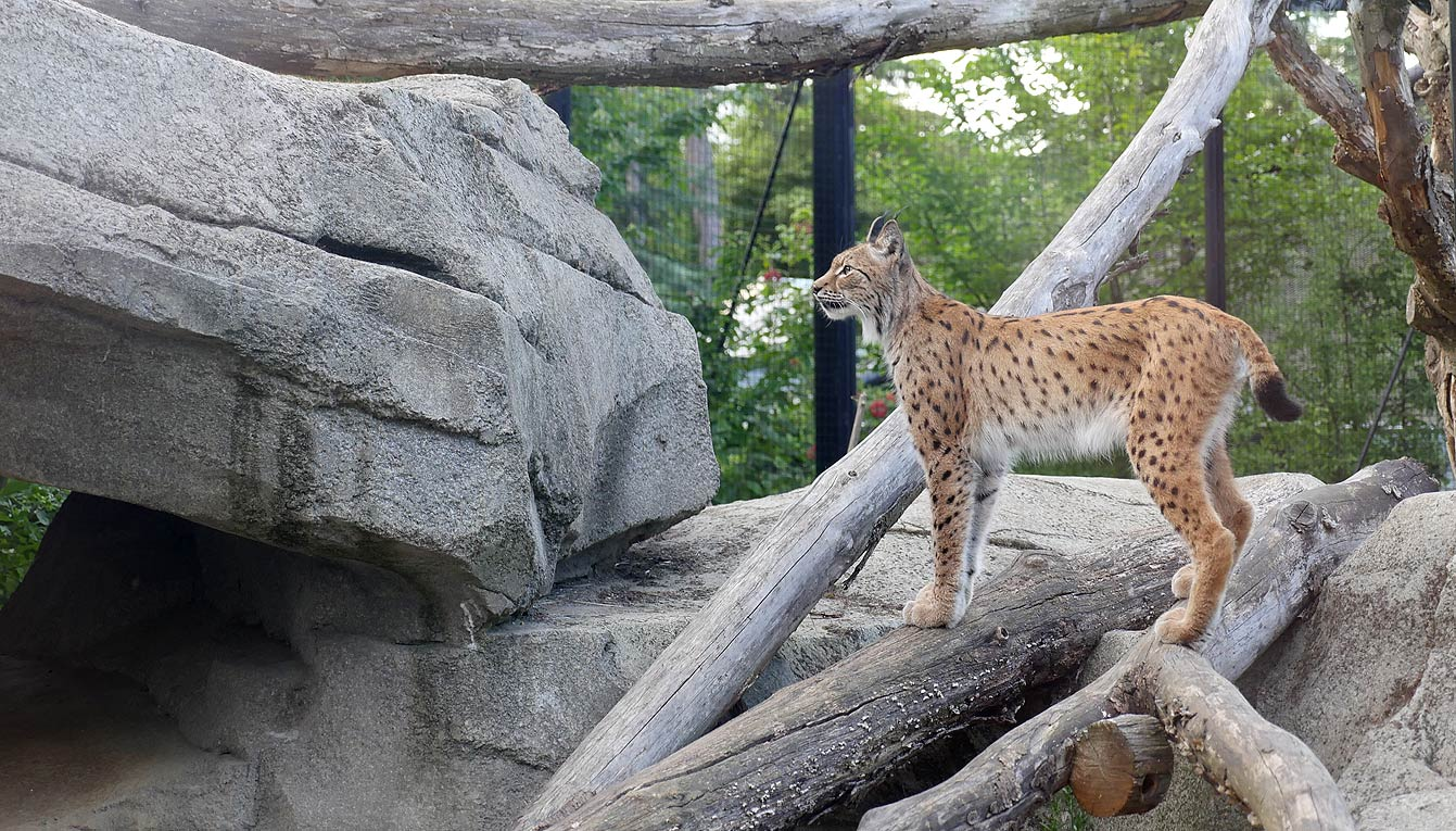 16-parc-zoologique-paris-lynx