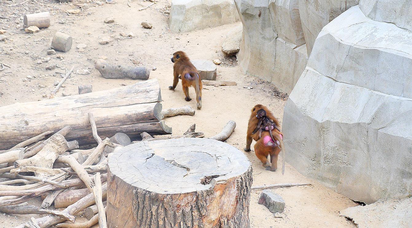 18-parc-zoologique-paris-babouin