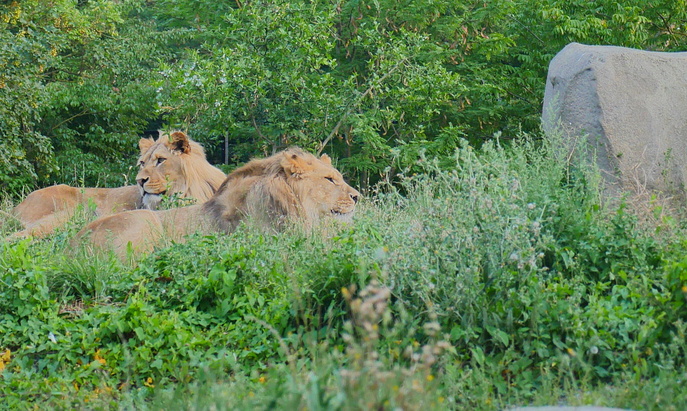 19-parc-zoologique-paris-lions