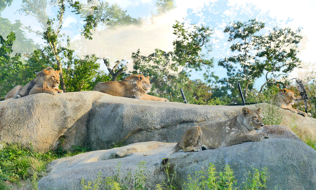20-parc-zoologique-paris-lions